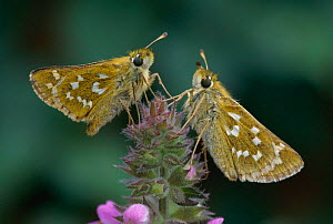 Silver spotted skipper butterflies {Hesperia comma} North Downs, Surrey, UK - George McCarthy