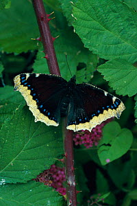 Camberwell butterfly {Nymphalis antiopa} UK  -  George McCarthy