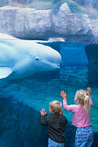 Boy and girl watch Beluga whale {Delphinapterus leucas} at Mystic Aquarium, Connecticut, USA. Model released  White whales  -  DOC WHITE