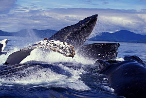 Humpback whales bubble-net feeding, Frederick Sound, Alaska, USA NOT FOR SALE IN USA  -  Brandon Cole