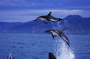 Dusky dolphins leaping above surface {Lagenorhynchus obscurus} Kaikoura, South Island, New Zealand NOT FOR SALE IN USA  -  Brandon Cole