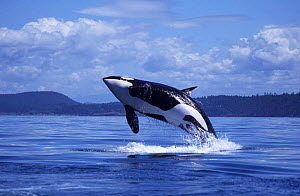Killer whale {Orcinus orca} breaching at surface, San Juan Islands, Washington, USA. NOT FOR SALE IN USA  -  Brandon Cole