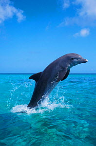 Bottlenose dolphin leaping at surface {Tursiops truncatus} Honduras, Caribbean NOT FOR SALE IN USA 2004 FREESTYLE WWF CALENDAR  -  Brandon Cole