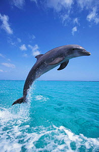 Bottlenose dolphin leaping at surface {Tursiops truncatus} Honduras, Caribbean NOT FOR SALE IN USA. Dolphins can jump 5m high out of the water.  -  Brandon Cole