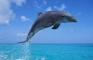 Bottlenose dolphin leaping at surface {Tursiops truncatus} Honduras, Caribbean NOT FOR SALE IN USA  -  Brandon Cole