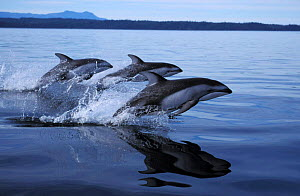 Pacific white-sided dolphins porpoising at surface {Lagenorhynchus obliquidens} Johnstone Strait, Vancouver Island, British Columbia, Canada NOT FOR SALE IN USA  -  Brandon Cole