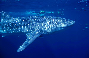 Whale shark just under surface with snorkelers {Rhincodon typus} Ningaloo Reef, Western Australia NOT FOR SALE IN USA - Brandon Cole