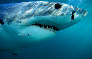 Head profile of Great white shark {Carcharodon carcharias} Dyer Island, Shark Alley, Gansbaai, South Africa NOT FOR SALE IN USA  -  Brandon Cole