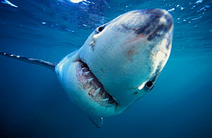 Curious Great white shark head on {Carcharodon carcharias} Dyer Island, Shark Alley, Gansbaai, South Africa NOT FOR SALE IN USA  -  Brandon Cole
