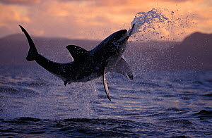 Great white shark jumping above surface attacking decoy at sunset {Carcharodon carcharias} False Bay, South Africa NOT FOR SALE IN USA - Brandon Cole