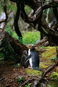 Yellow-eyed penguin & chick near nest {Megadyptes antipodes} Enderby Is, New Zealand - Pete Oxford