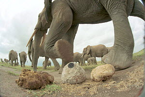 'Plopcam' - remotely controlled video camera disguised as dung, used to film elephant herd for BBC television film 'Elephants - Spy in the Herd' 2003  -  John Downer Productions