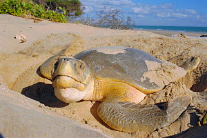 Flat backed turtle {Chelonia depressa} digging nest on beach, Crab Is, QLD, Australia Cape  -  Ben Osborne