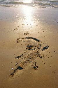 Imprint of Saltwater crocodile on sand {Crocodylus porosus} Queensland, Australia  -  Ben Osborne