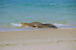 Saltwater crocodile returning to sea {Crocodylus porosus} Crab Is, Queensland, Australia Cape  -  Ben Osborne
