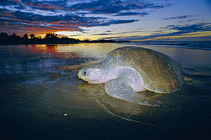 Olive ridley turtle emerging from sea at dusk. Costa Rica {Lepidochelys olivacea}  -  Ben Osborne