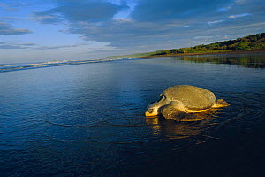 Olive ridley turtle returns to sea at dawn. Costa Rica {Lepidochelys olivacea}  -  Ben Osborne