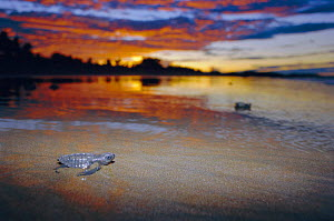 Olive ridley turtle hatchling heads for the sea. Costa Rica {Lepidochelys olivacea} - Ben Osborne