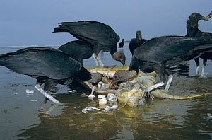 Olive ridley turtle caught in fishing line scavenged by Black vultures. Costa Rica - Ben Osborne