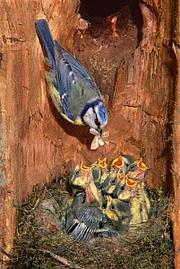 Blue tit feeding hungry chicks in nest {Parus caeruleus} France. Digital composite  -  Dave Watts