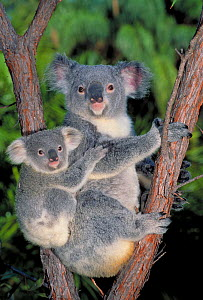 Koala with young in tree {Phascolarctos cinereus} Queensland, Australia - Dave Watts