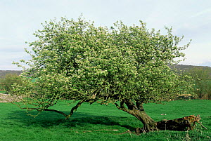 Crab apple tree {Malus sylvestris} Silverdale, Lancashire, UK  -  Jason Smalley