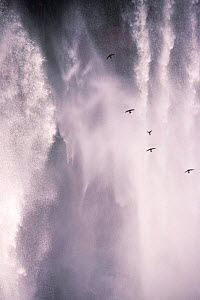 Great dusky swifts {Cypseloides senex} flying to roost behind waterfall, Noel Kempff, Bolivia, South America  -  Pete Oxford