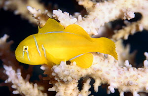 Citron (lemon coral) goby (Gobiodon citrinus) Red Sea  -  Colin Preston