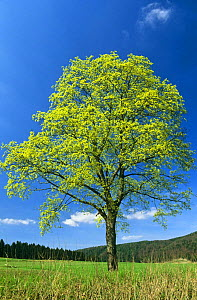Sycamore tree in blossom  {Acer pseudoplatanus} Bavaria Germany - Martin Gabriel