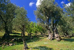 Olive tree (150 yrs-old) in Olive grove. Lesbos, Greece  -  David Tipling