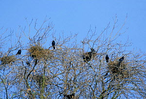 Rookery with nests at top of trees {Corvus frugilegus} Warwickshire, UK  -  Mike Wilkes