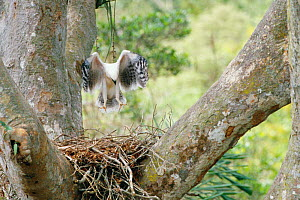 Young Crested eagle juvenile practices flight on nest {Morphnus guianensis} Amazonia, Peru - Pete Oxford