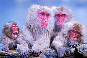 Japanese macaques with young in hot spring {Macaca fuscata} Joshin-etsu NP, Japan - Ingo Arndt