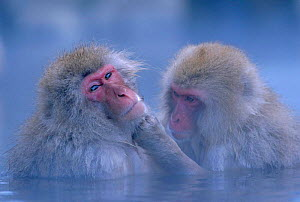 Japanese macaques grooming in hot thermal spring {Macaca fuscata} Joshin-etsu NP, Japan. These primates can survive winter temperatures below -15 degrees by bathing in the springs  -  Ingo Arndt