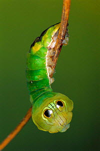 Silkmoth caterpillar with eye spots to mimic snake {Oxytenis modestia} Guanacaste, Costa Rica, Central America  -  Ingo Arndt