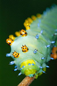 Cecropia moth caterpillar with warning coloration {Hyalophora cecropia} North America  -  Ingo Arndt