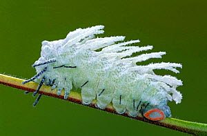 Atlas moth caterpillar with wax coating for protection from parasites {Attacus atlas} Malaysia  -  Ingo Arndt