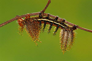 Saturniid moth caterpillar with spines {Automeris boops} Peru  -  Ingo Arndt