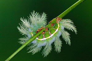 Moon moth caterpillar with defence spines {Automeris chaconia} Peru  -  Ingo Arndt