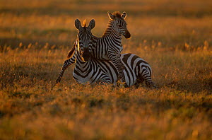 Common zebra foal playing over resting mother {Equus quagga} Masai Mara NR Kenya East Africa - Anup Shah