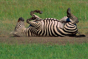 Common zebra rolling on back having dust bath {Equus quagga} Masai Mara NR Kenya  -  Anup Shah