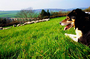 Sheepdog with flock of sheep {Canis familiaris} Pembrokeshire, Wales, UK  -  Nick Turner