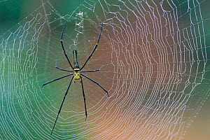 Giant woodspider {Nephila maculata} on web with dew, Kaziranga NP, Assam, India  -  Bernard Castelein