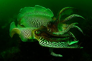 Common cuttlefish {Sepia officinalis} males compete to mate with females. Devon, UK  -  Alan James