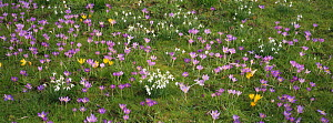 Early Spring flowers amongst grass, including crocus {Romulea} and snowdrops {Galanthus genus} in February, UK  -  DAVID TIPLING