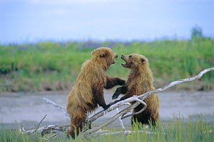 Two juvenile Brown bears playfighting {Ursus arctos} Silver Salmon Creek, USA - David Pike