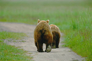 Rear view of two juvenile Brown bears walking along path {Ursus arctos} Silver Salmon Creek USA - David Pike
