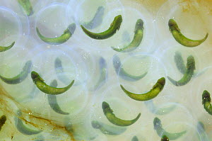 Spotted salamander eggs {Ambystoma maculatum} with symbiotic algae, Delaware, USA - Doug Wechsler