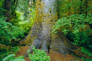 Sitka spruce tree trunk {Picea sitchensis} Hoh rainforest, Olympic NP, Washington, USA - Doug Wechsler