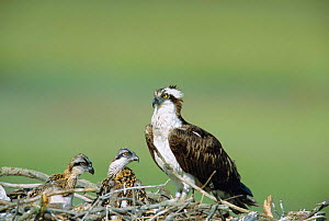 Osprey female with chicks at nest {Pandion haliaetus} New Jersey, USA  -  Doug Wechsler